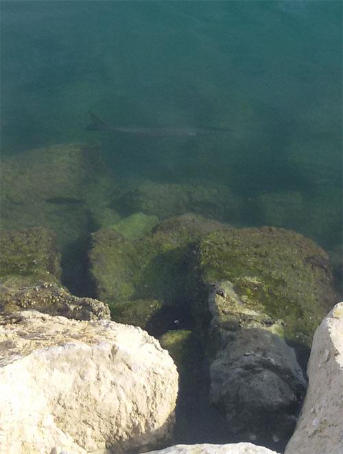 Imagen de barracuda junto al paseo de la playa de San Gabriel (Alicante)